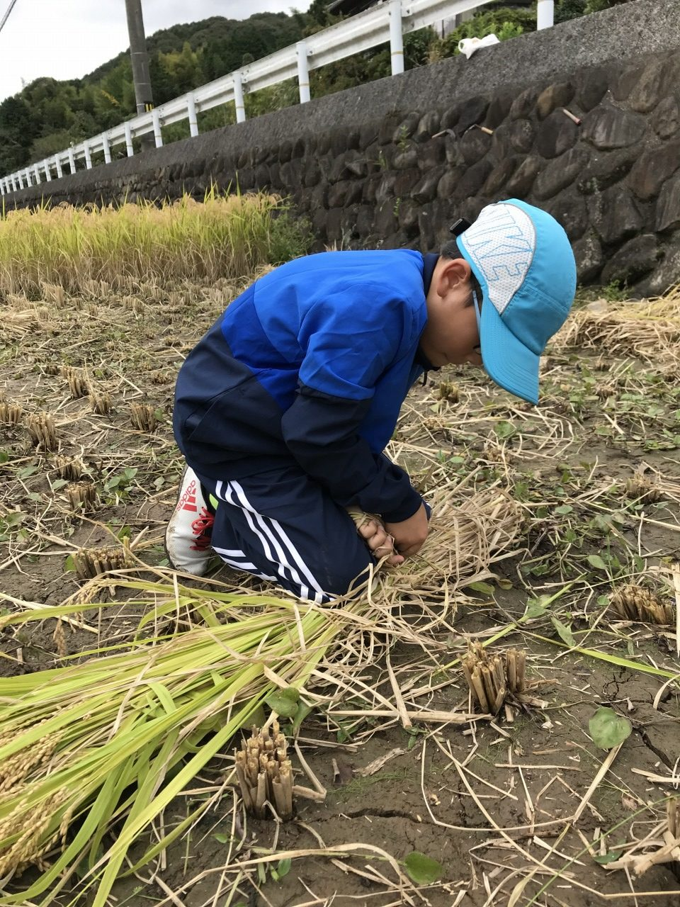 tie up cut rice plants in sheaves